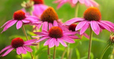 Echinacea – Proprietà, benefici e controindicazioni